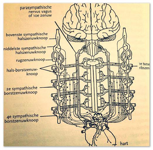 Ortho- en parasympatisch zenuwstelsel - blogartikel hartcoherentietraining.be - Oosterzele - Gent - Mathieu Devies